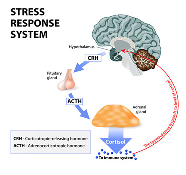 stress response - Unlock Your Glutes - Conversion Monster!